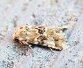 (2352) Dusky Sallow (Eremobia ochroleuca) (9443211087).jpg