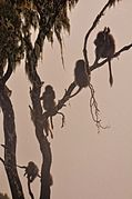 (Baby) Baboons in the Mist (7574774620).jpg