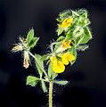 (MHNT) Lotus angustissimus - Flowers and leaves.jpg