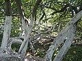 «Яблуня-колонія», ботанічна пам'ятка природи-5.JPG