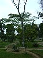 Árbol de Sangre de Grado en el Jardín Botánico de Lima.jpg