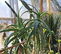 ÌKAl 20131109 Aloe acutissima.JPG