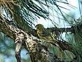 Žutarica mužjak (Serinus serinus) European Serin male.jpg