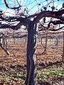Виноград (плантация).jpg