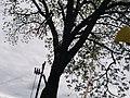 Гермаківський горіх чорний. Гермаківське л-во, кв. 15 в. 13.jpg