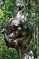 Дерево леший.jpg