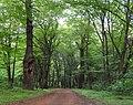 Дуби — Голосіївські велетні, дуби понад стежками.jpg