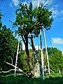 Запорожский дуб, 2017 (фото Анастасии Цветковой).jpg