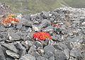 Красная растительность - panoramio.jpg