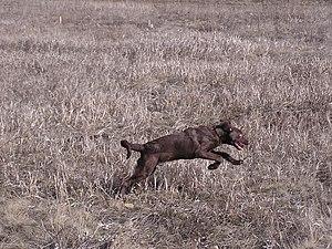 Русский: Собака