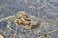 Нерест жаб.jpg