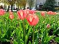 Тюльпани в сквері.jpg