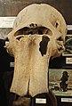 Части скелета мамонта.Teile des Mammutskeletts.2H1A0280WI.jpg