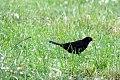 Черный дрозд.jpg