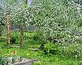 Яблони в цвету - panoramio (1).jpg