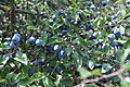 კვრინჩხი Prunus spinosa Blackthorn, Sloe (2).JPG