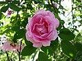 多花玫瑰(Polyantha rose) Rosa Fairy Queen -波蘭華沙 Powsin PAN Botanical Garden, Warsaw- (36488298141).jpg