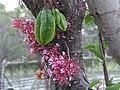 楊桃 Starfruit (Averrhoa carambora) - panoramio.jpg