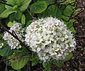 樺葉繡線菊 Spiraea betulifolia -比利時 Ghent University Botanical Garden, Belgium- (9229899178).jpg