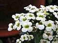 海芥蘭 Crambe maritima -比利時 Leuven Botanical Garden, Belgium- (9227116885).jpg