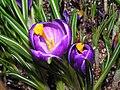 番紅花 Crocus sativus -香港公園 Hong Kong Park- (9200930240).jpg
