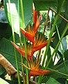 紅褐蝎尾蕉 Heliconia latispatha -吉隆坡 University of Malaysia, Kuala Lumpur- (20646982554).jpg