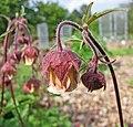 紫萼路邊青 Geum rivale -比利時國家植物園 Belgium National Botanic Garden- (9200927404).jpg