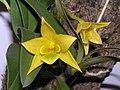翅梗石斛 Dendrobium trigonopus -香港沙田洋蘭展 Shatin Orchid Show, Hong Kong- (9216097138).jpg