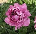 芍藥-荷花型 Paeonia lactiflora Lotus-series -北京植物園 Beijing Botanical Garden, China- (9200946124).jpg