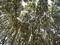 花嫁街道のマテバシイの林 2013-05-18 - la arboaro de 'Lithocarpus edulis' - panoramio.jpg