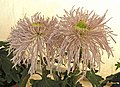 菊花-粉宮一號 Chrysanthemum morifolium 'Pink Palace -1' -香港圓玄學院 Hong Kong Yuen Yuen Institute- (12026334625).jpg