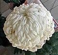 菊花-雪濤 Chrysanthemum morifolium 'Snow Waves' -香港圓玄學院 Hong Kong Yuen Yuen Institute- (12115821173).jpg