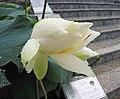 蓮花-一丈青 Nelumbo nucifera -深圳洪湖公園 Shenzhen Honghu Park, China- (12338318785).jpg