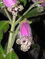 角桐草屬 Kohleria warszewiczii -香港沙田紫羅蘭展 Shatin African Violet Show, Hong Kong- (9227117965).jpg
