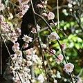 道明寺天満宮・梅園にて Ume garden, Dōmyōji-Temmangū 2012.3.16 - panoramio (1).jpg