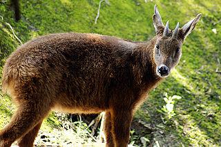 台灣野生羊族群飽受疥癬蟎之苦,造成族群死亡。(圖片來源:維基百科)