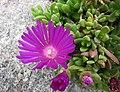麗晃 Delosperma cooperi -哥本哈根大學植物園 Copenhagen University Botanical Garden- (37042522095).jpg