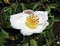 齒葉柔毛紫莖 Stewartia serrata -維也納大學植物園 Vienna University Botanical Garden- (29047134435).jpg