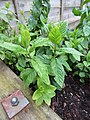 -2020-06-10 Garden mint, Trimingham, Norfolk.JPG