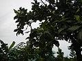 04224jfSanto Rosario La Purisima Artocarpus altilis Aliaga Nueva Ecijafvf 09.JPG