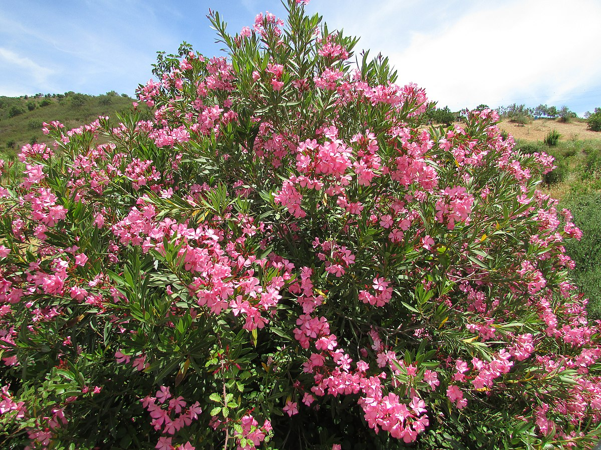 Oleander shrub is toxic and should not be used as firewood