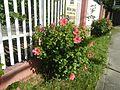 0985jfHibiscus rosa sinensis Linn White Pinkfvf 17.jpg