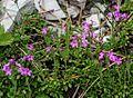 1024 Alpenbalsam (Erinus alpinus)-2181.jpg