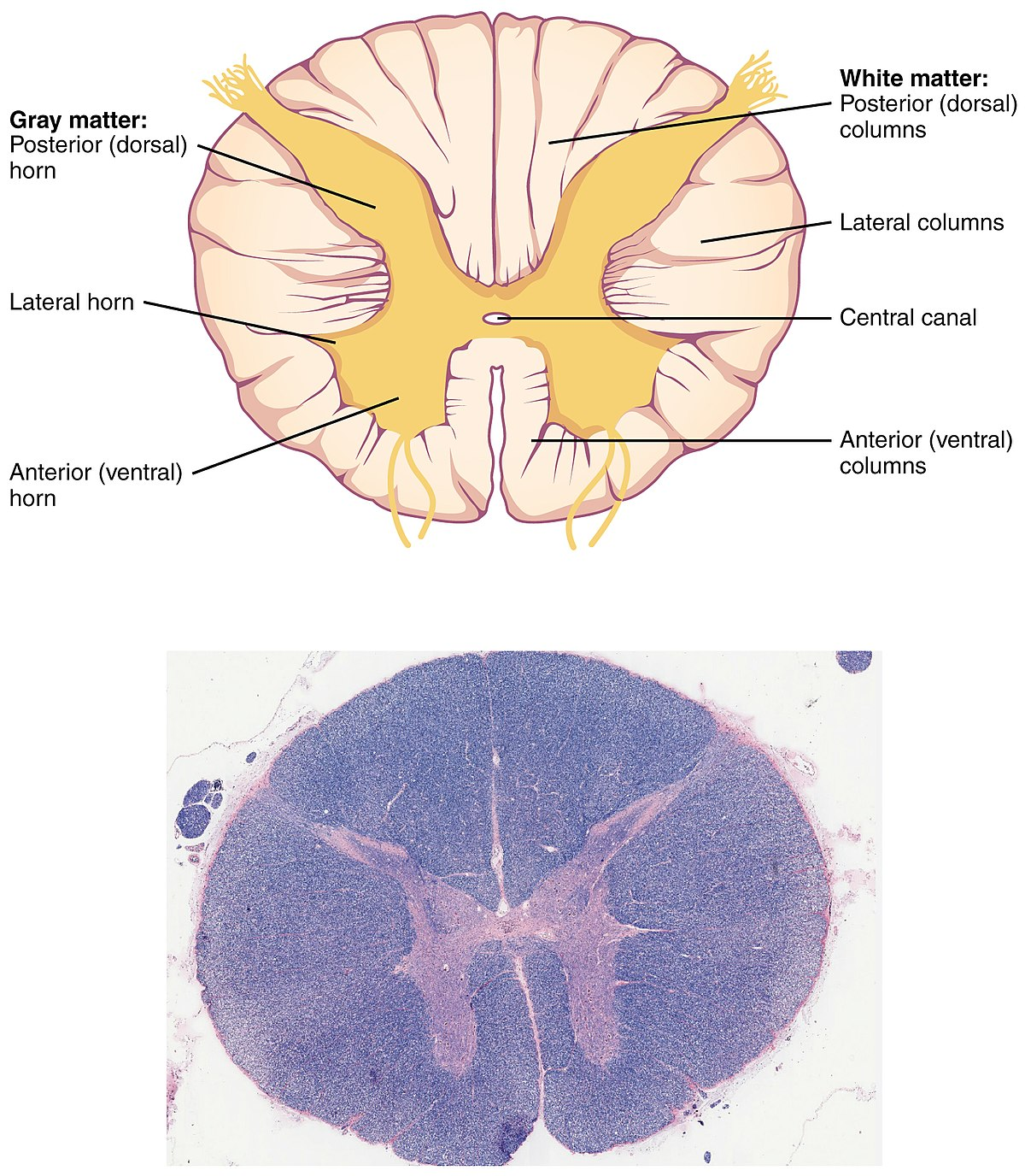 1313 Spinal Cord Cross Section.jpg