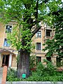 150-річний черешчатий дуб у Харкові.JPG