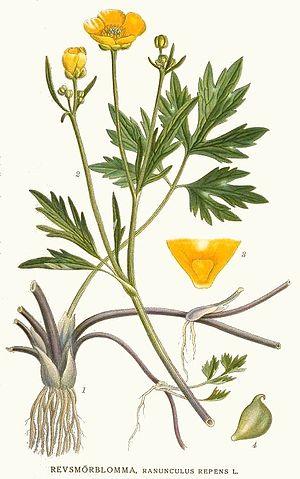 160 Ranunculus repens.jpg