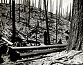 1939. Re-burn of a logged area in the Tillamook Burn, Oregon. (34020685225).jpg