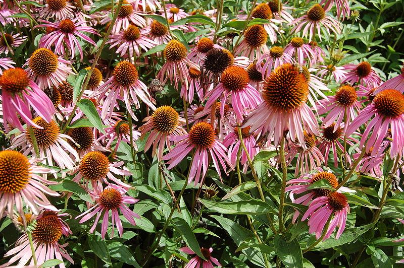 File:2007 echinacea purpurea.jpg