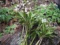 2008-05-01 Tranzschelia pruni-spinosae (Pers.) Diet 221248.jpg