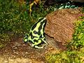2009-04-05Dendrobates auratus151.jpg